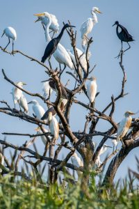 Colonial nesting herons and egrets in a tree